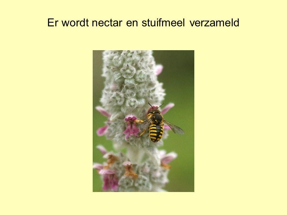 Er wordt nectar en stuifmeel verzameld