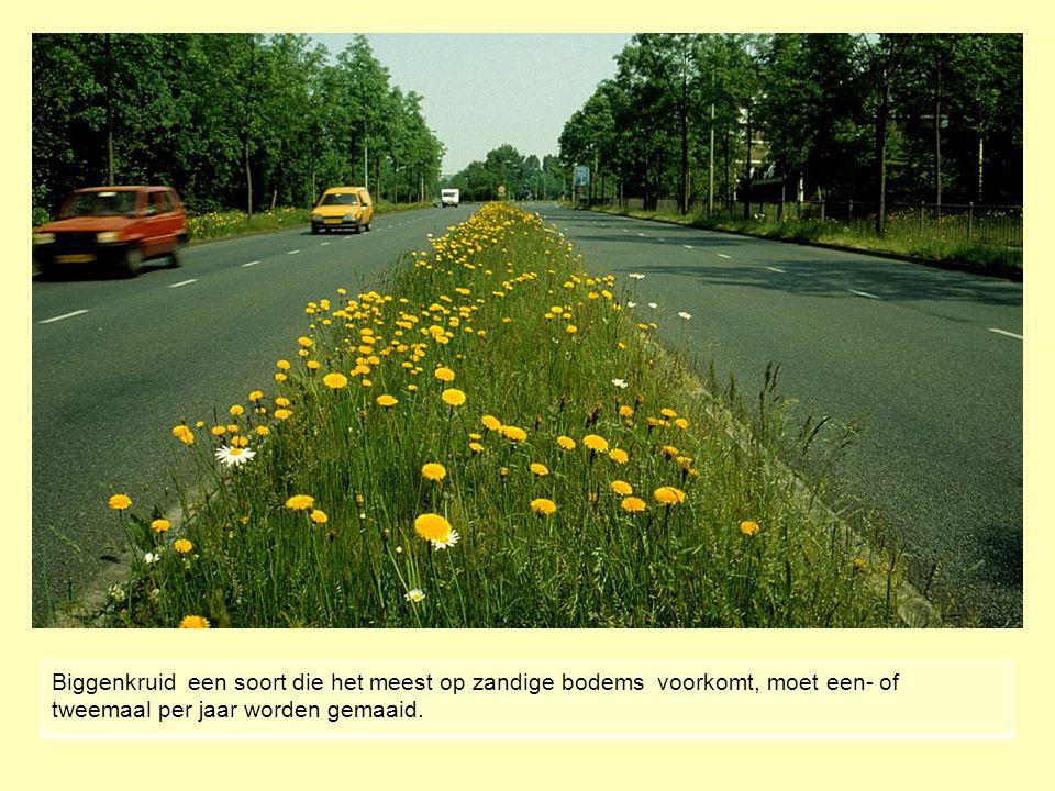 Biggenkruid een soort die het meest op zandige bodems voorkomt, moet een- of tweemaal per jaar worden gemaaid.