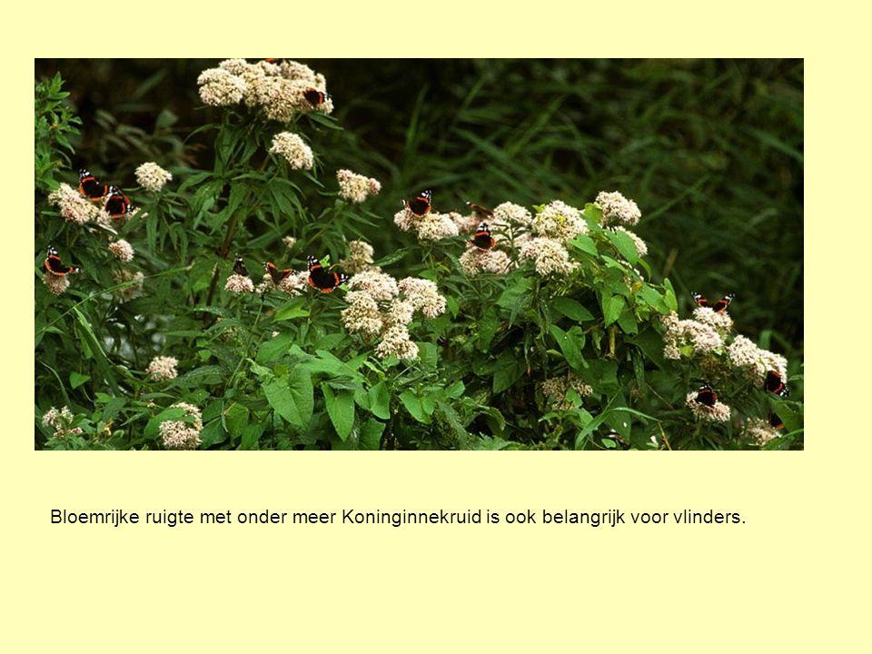 Bloemrijke ruigte met onder meer Koninginnekruid is ook belangrijk voor vlinders.