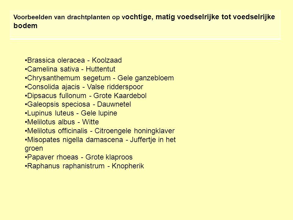 Brassica oleracea - Koolzaad Camelina sativa - Huttentut