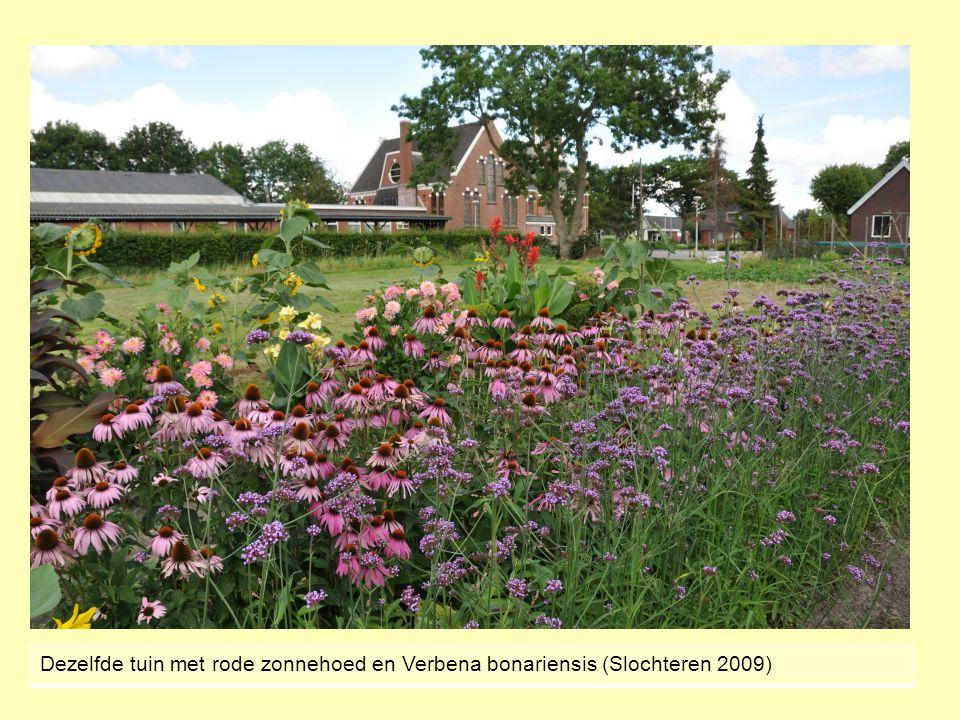 Dezelfde tuin met rode zonnehoed en Verbena bonariensis (Slochteren 2009)