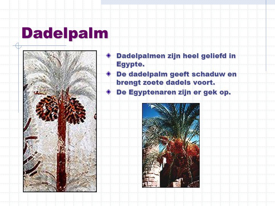 Dadelpalm Dadelpalmen zijn heel geliefd in Egypte.