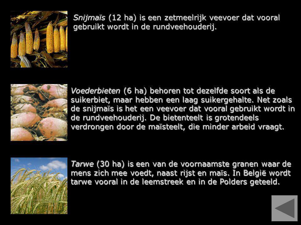 Snijmaïs (12 ha) is een zetmeelrijk veevoer dat vooral gebruikt wordt in de rundveehouderij.