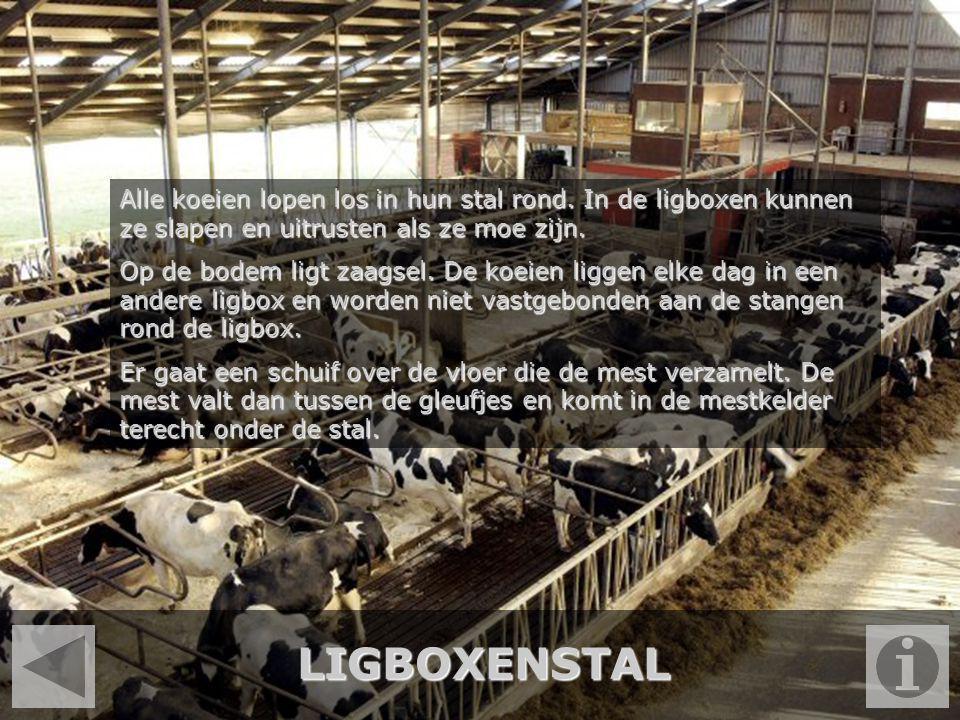 Alle koeien lopen los in hun stal rond