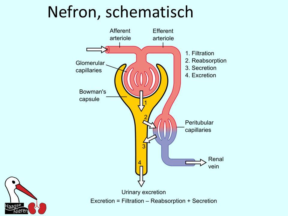 Nefron, schematisch