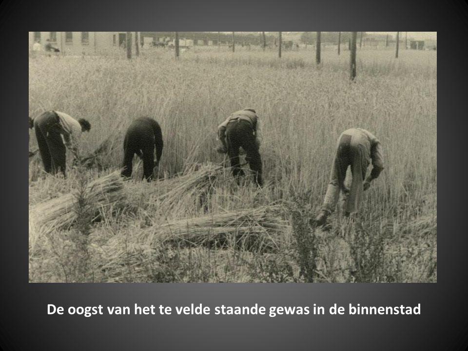 De oogst van het te velde staande gewas in de binnenstad