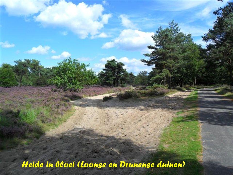 Heide in bloei (Loonse en Drunense duinen)