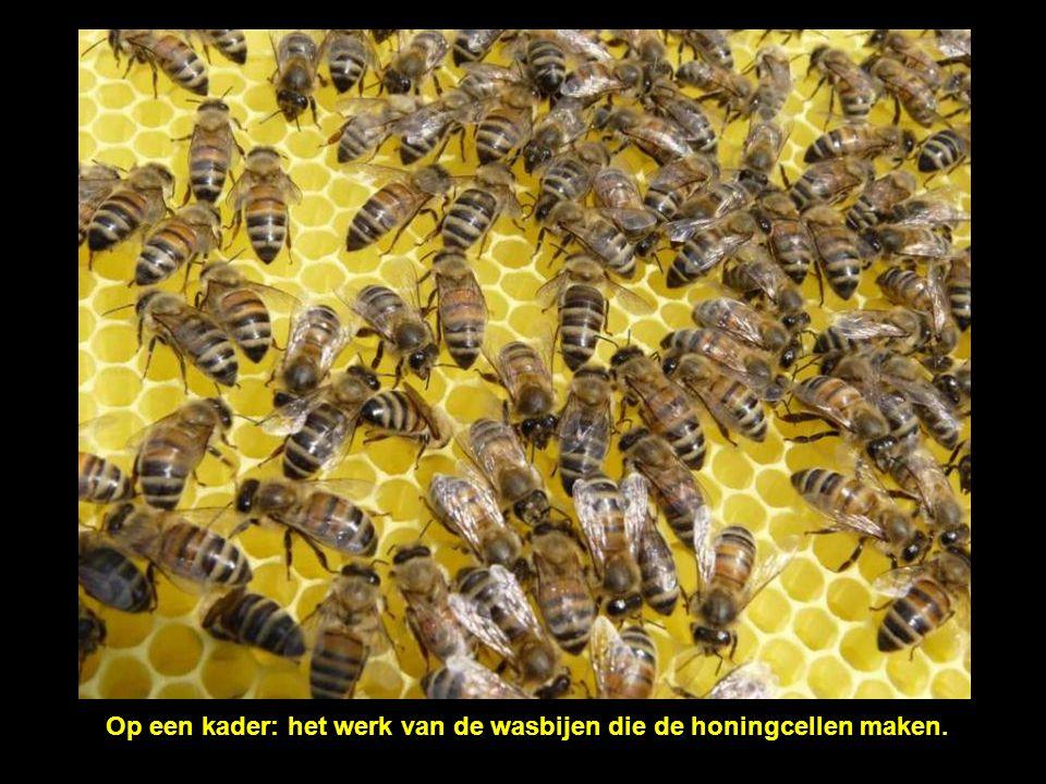 Op een kader: het werk van de wasbijen die de honingcellen maken.