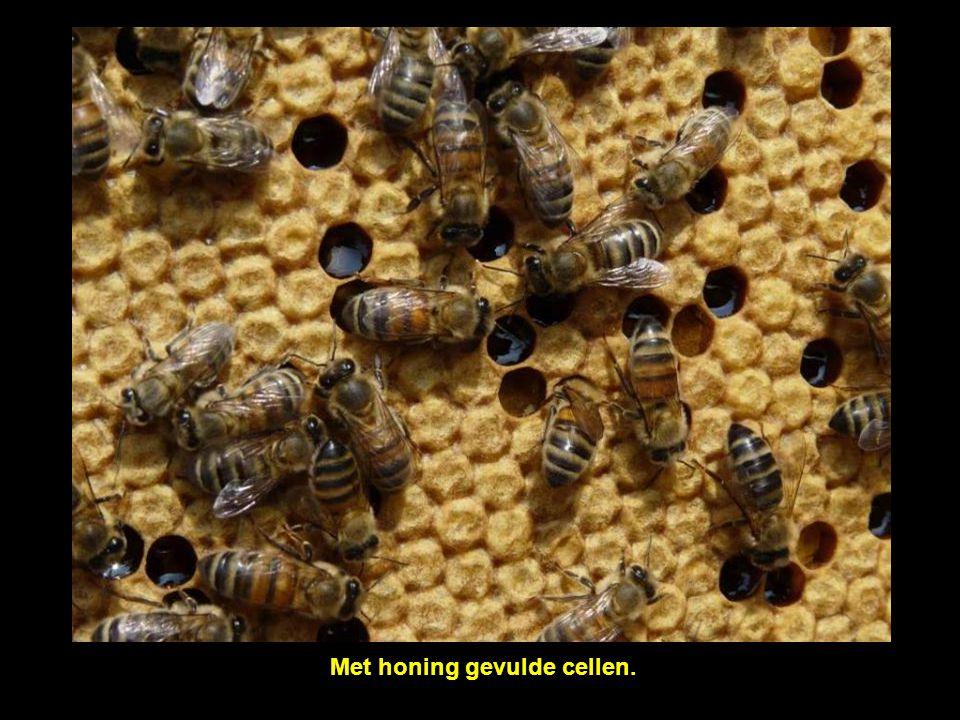 Met honing gevulde cellen.