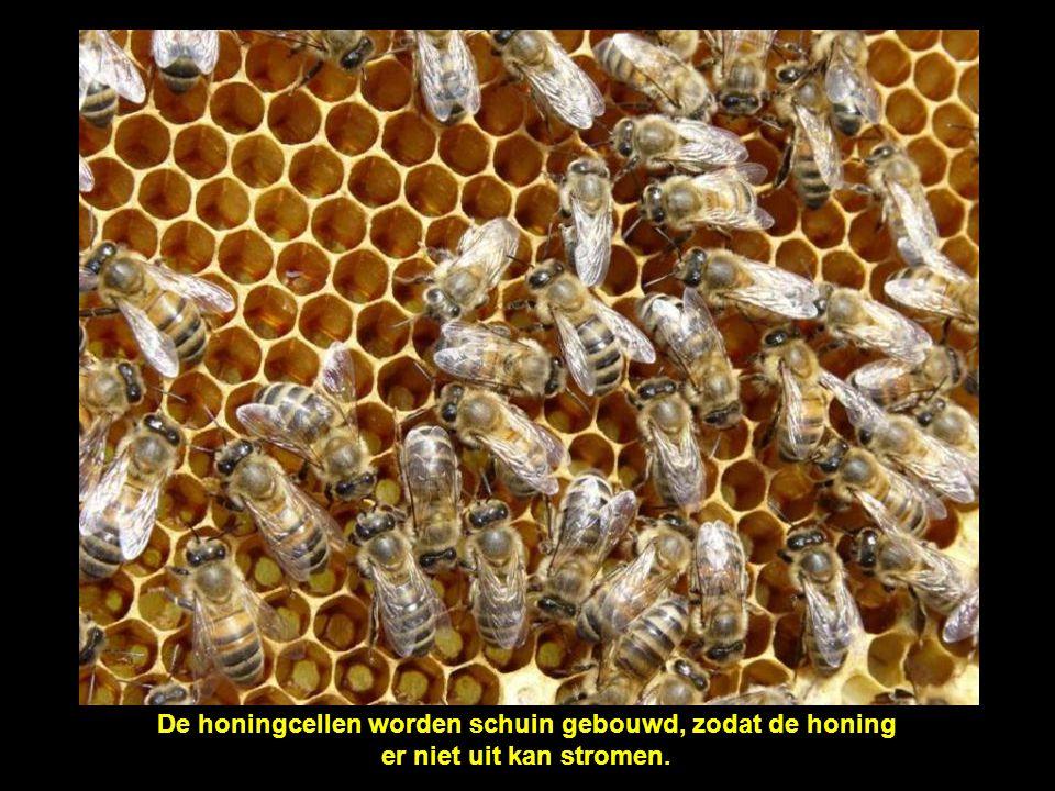 De honingcellen worden schuin gebouwd, zodat de honing