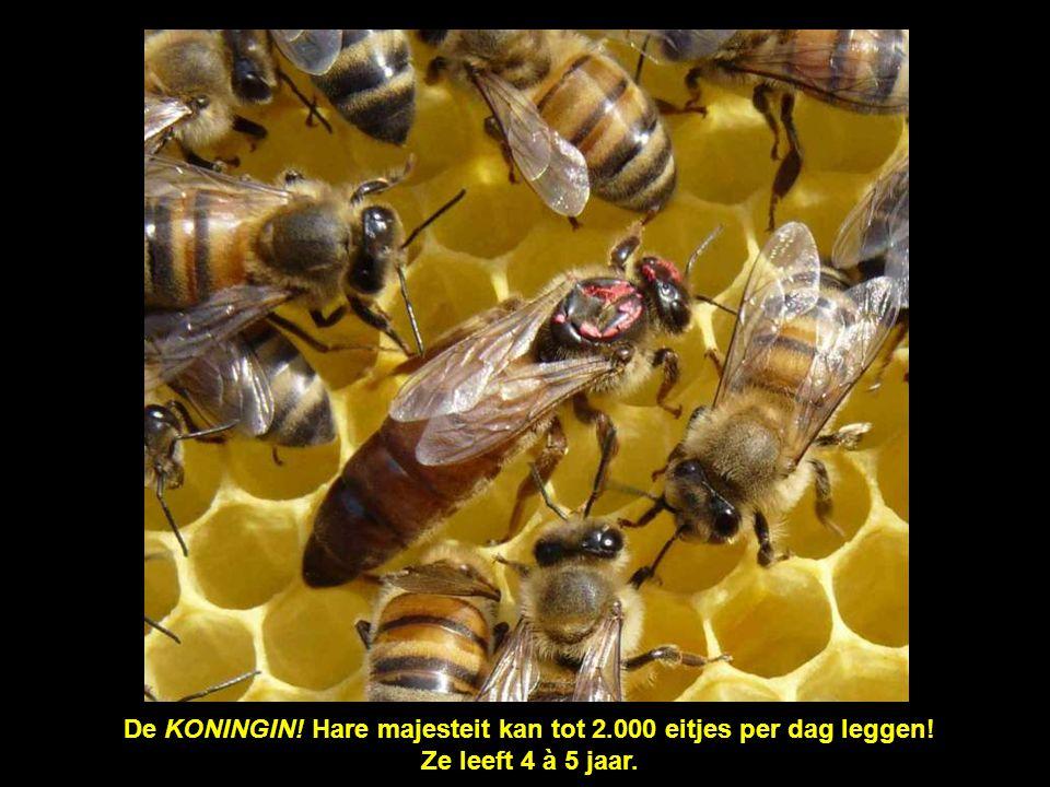 De KONINGIN! Hare majesteit kan tot 2.000 eitjes per dag leggen!