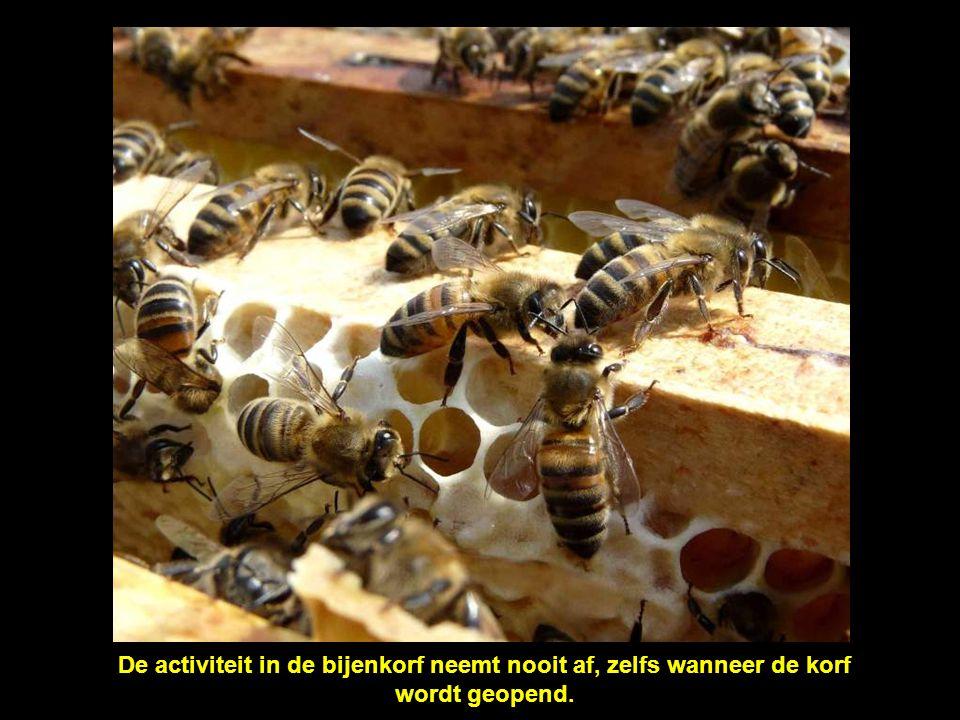 De activiteit in de bijenkorf neemt nooit af, zelfs wanneer de korf wordt geopend.