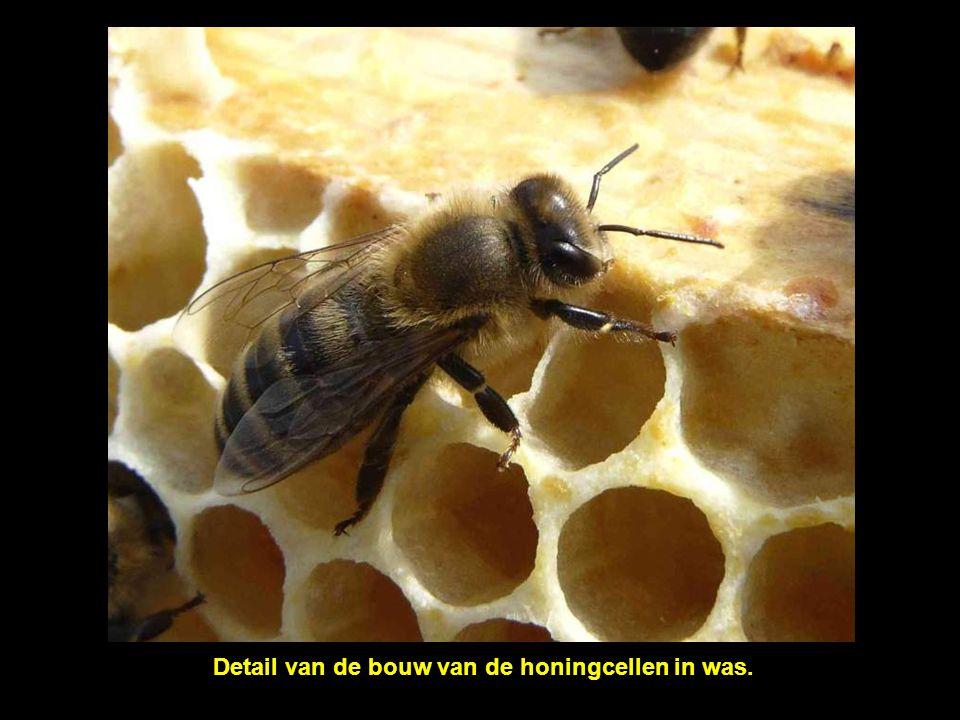 Detail van de bouw van de honingcellen in was.