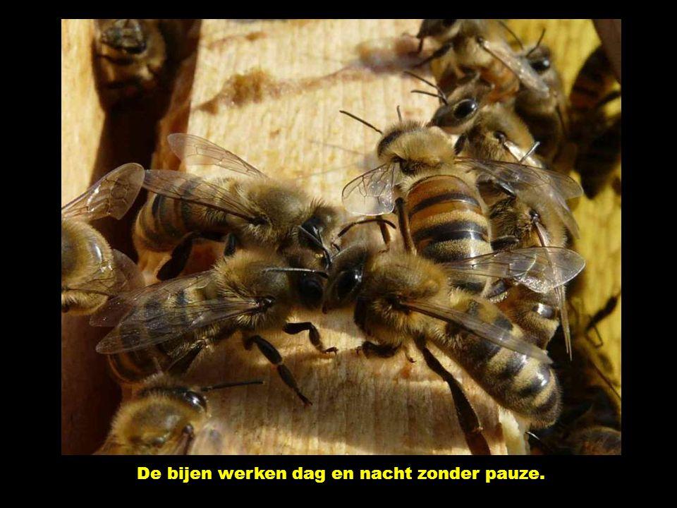 De bijen werken dag en nacht zonder pauze.