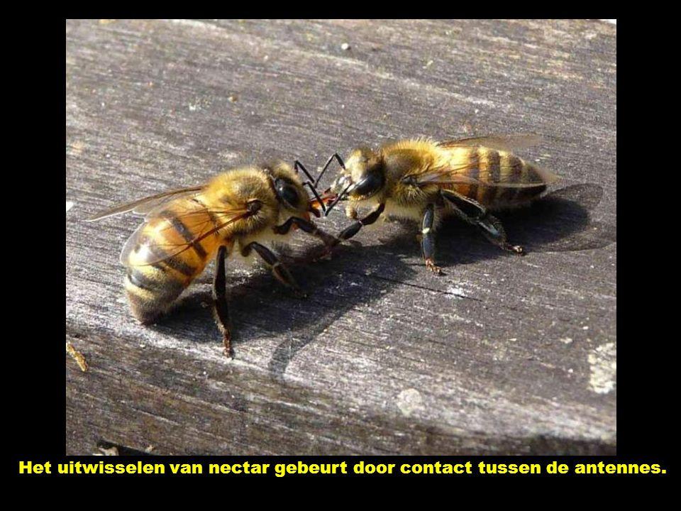 Het uitwisselen van nectar gebeurt door contact tussen de antennes.