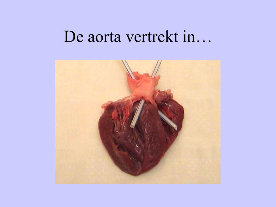 De aorta vertrekt in…