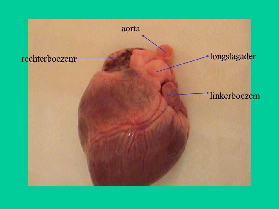 aorta longslagader rechterboezem linkerboezem
