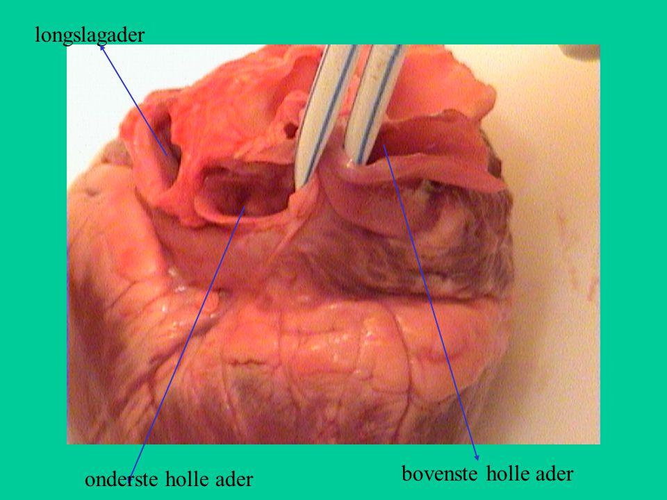 longslagader bovenste holle ader onderste holle ader