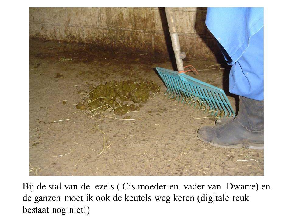 Bij de stal van de ezels ( Cis moeder en vader van Dwarre) en de ganzen moet ik ook de keutels weg keren (digitale reuk bestaat nog niet!)