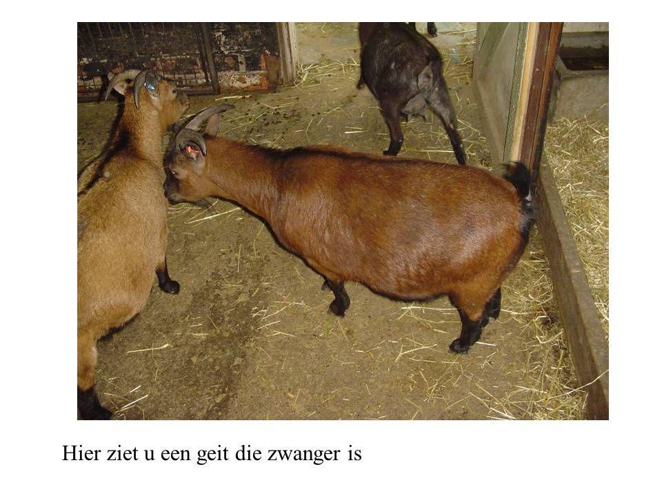 Hier ziet u een geit die zwanger is