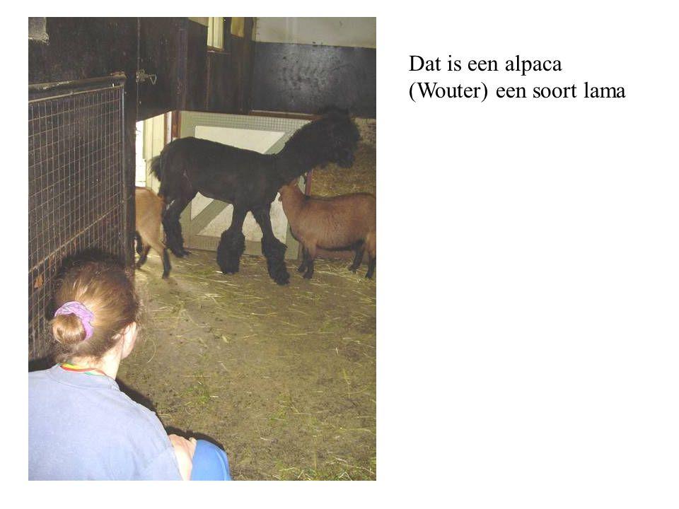Dat is een alpaca (Wouter) een soort lama