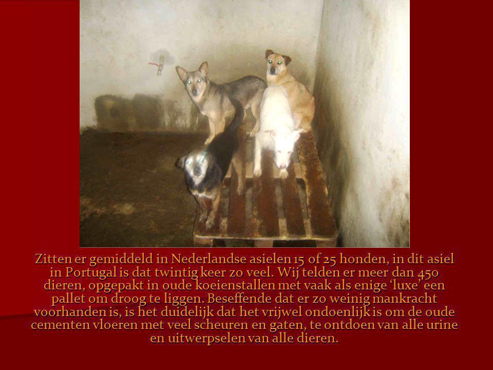 Zitten er gemiddeld in Nederlandse asielen 15 of 25 honden, in dit asiel in Portugal is dat twintig keer zo veel.