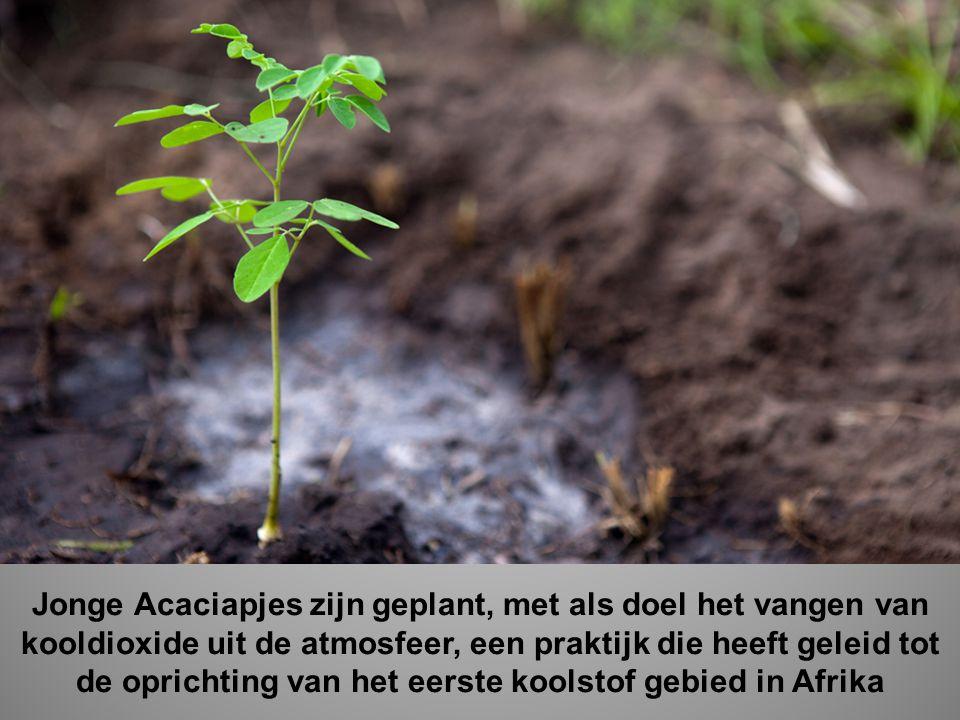 Jonge Acaciapjes zijn geplant, met als doel het vangen van kooldioxide uit de atmosfeer, een praktijk die heeft geleid tot de oprichting van het eerste koolstof gebied in Afrika