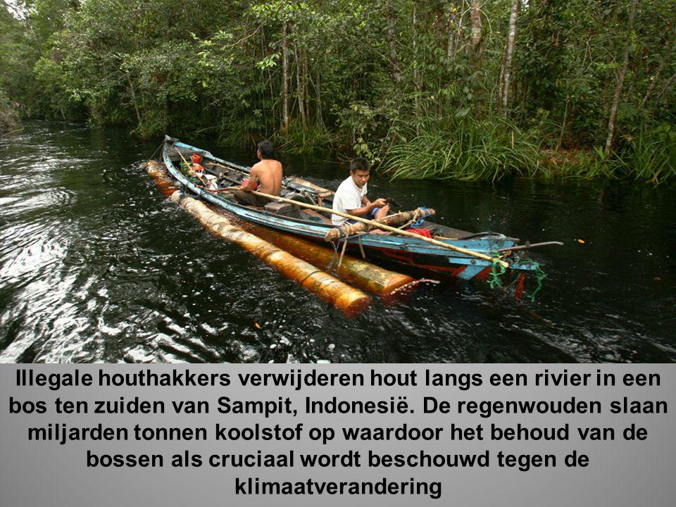 Illegale houthakkers verwijderen hout langs een rivier in een bos ten zuiden van Sampit, Indonesië.