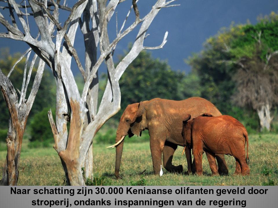 Naar schatting zijn 30.000 Keniaanse olifanten geveld door stroperij, ondanks inspanningen van de regering