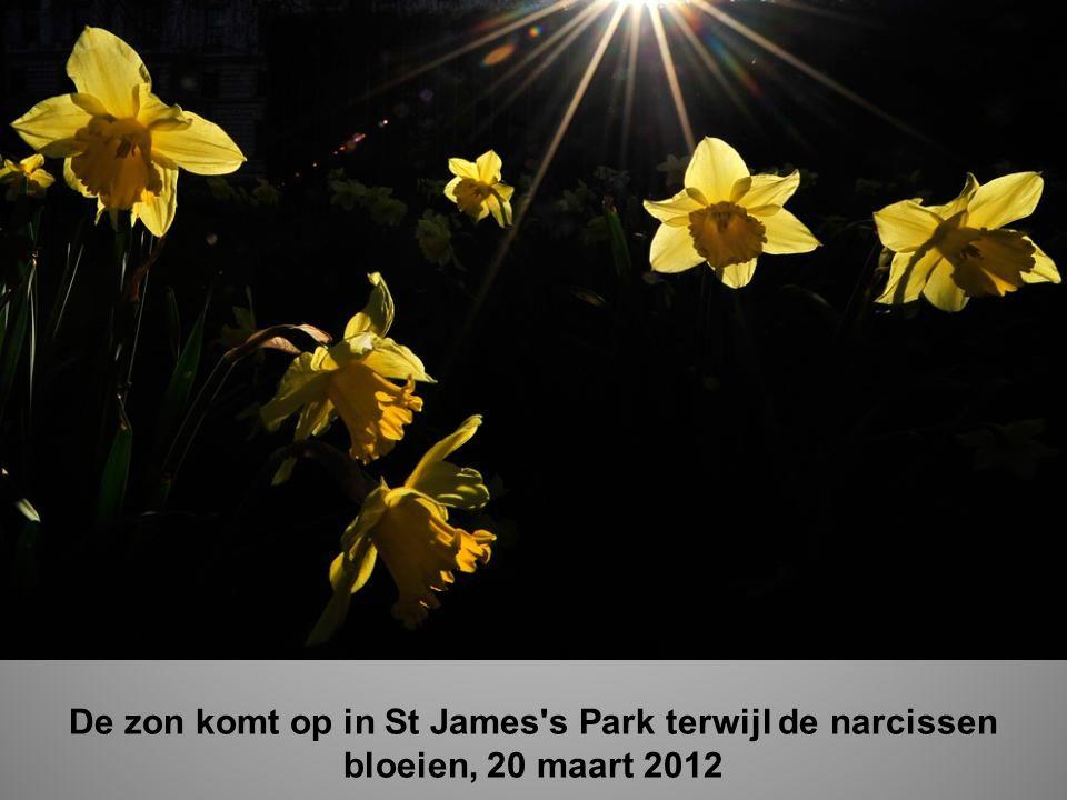 De zon komt op in St James s Park terwijl de narcissen bloeien, 20 maart 2012