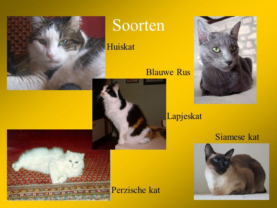Soorten Huiskat Blauwe Rus Lapjeskat Siamese kat Perzische kat