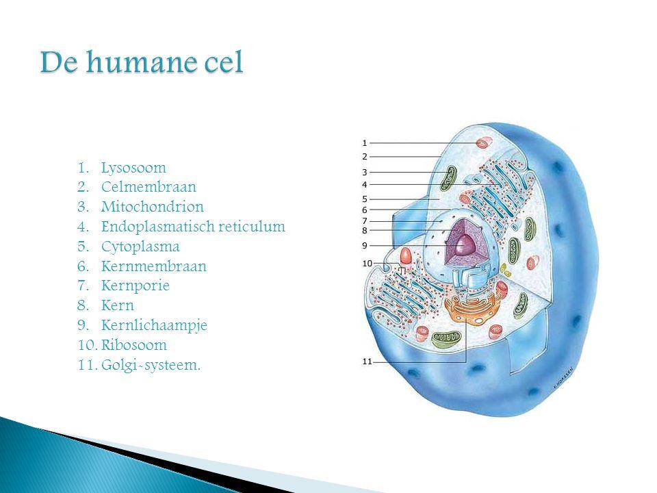 De humane cel Lysosoom Celmembraan Mitochondrion