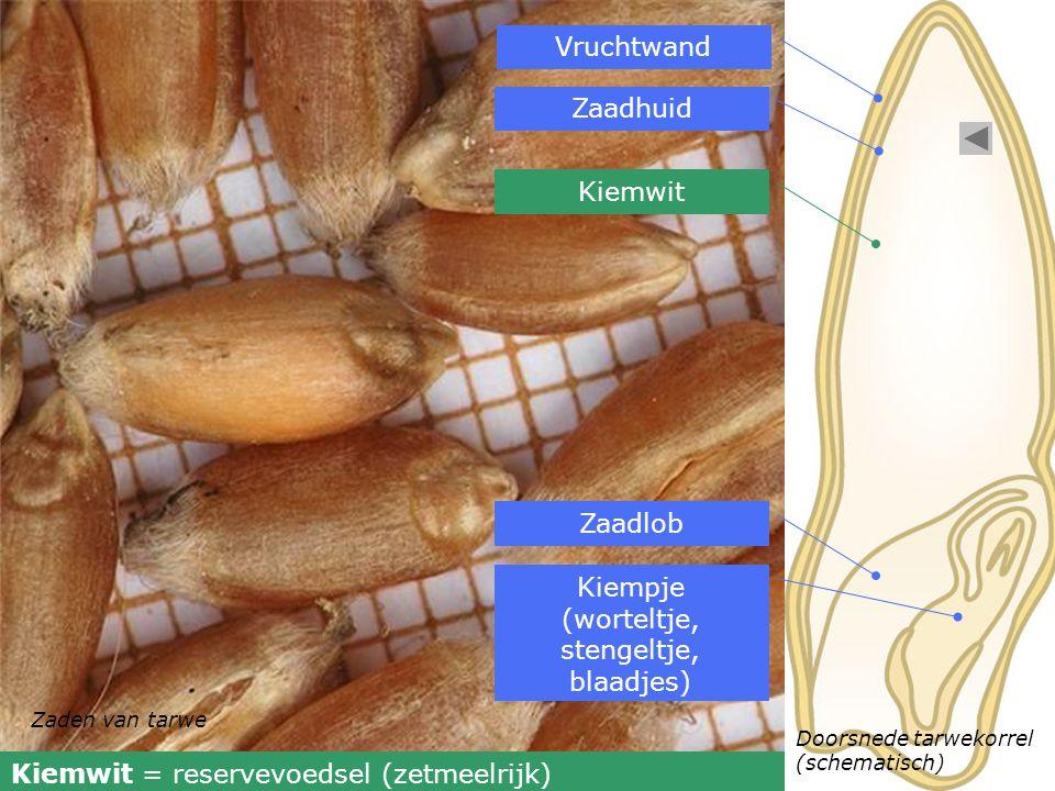 Kiempje (worteltje, stengeltje, blaadjes)