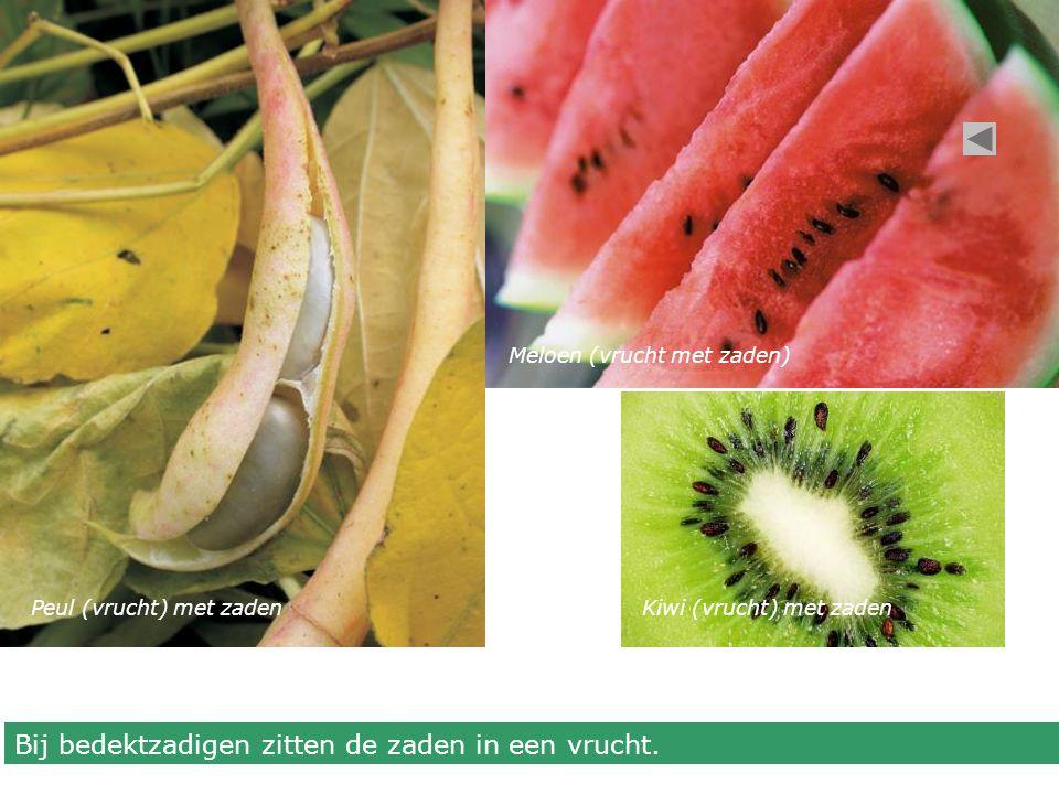 Bij bedektzadigen zitten de zaden in een vrucht.