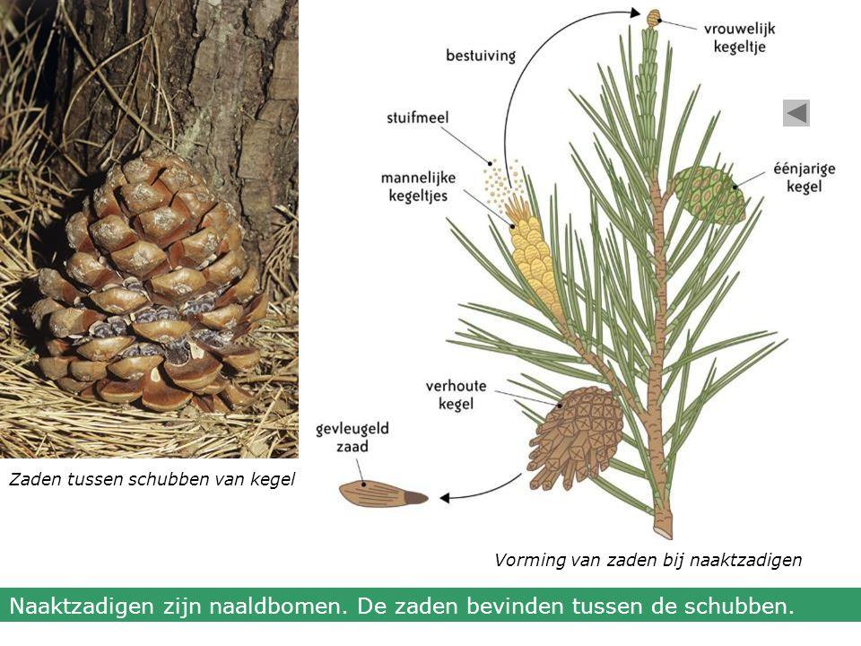 Naaktzadigen zijn naaldbomen. De zaden bevinden tussen de schubben.