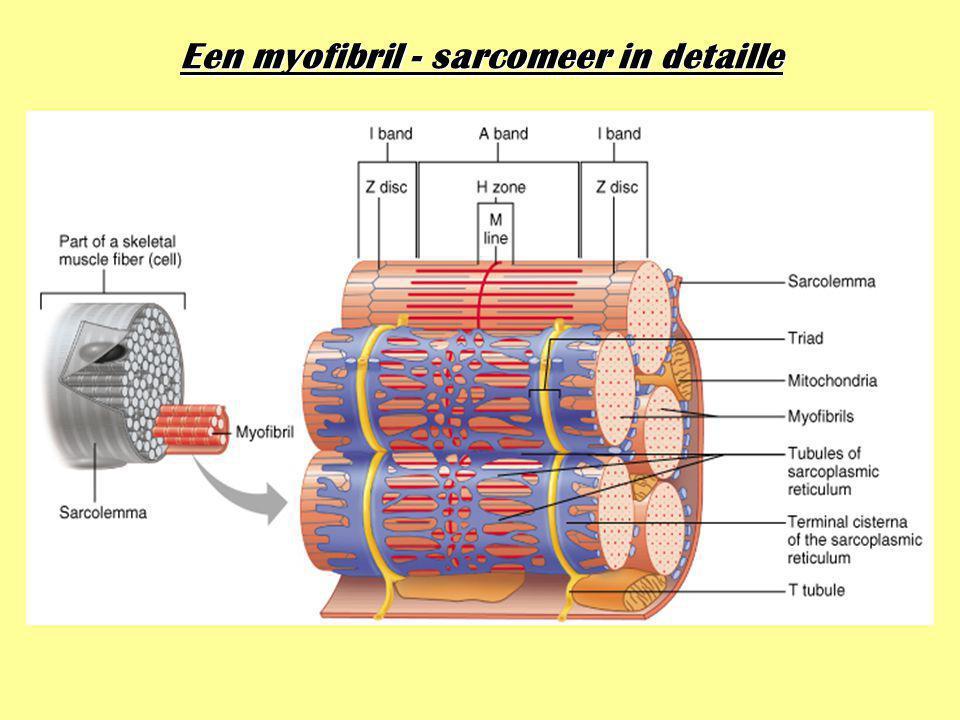 Een myofibril - sarcomeer in detaille