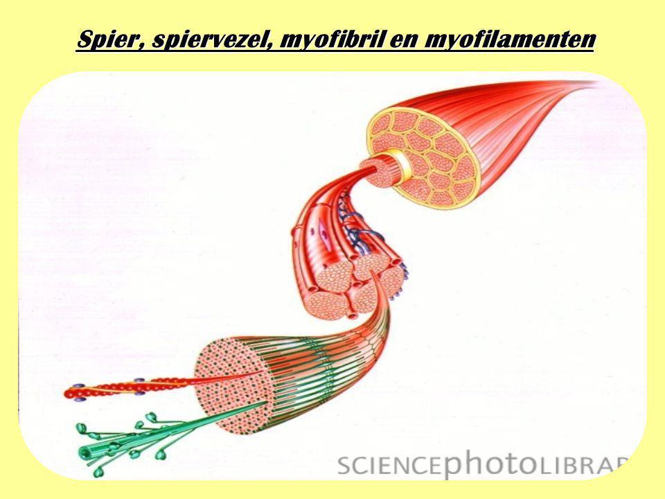 Spier, spiervezel, myofibril en myofilamenten