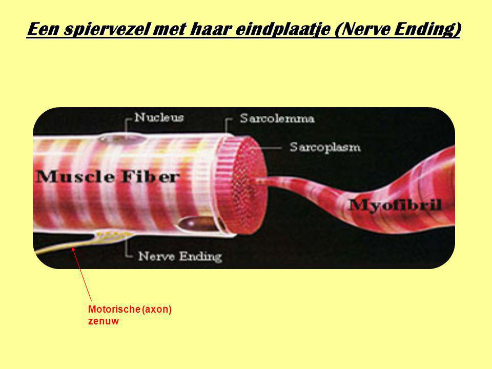 Een spiervezel met haar eindplaatje (Nerve Ending)