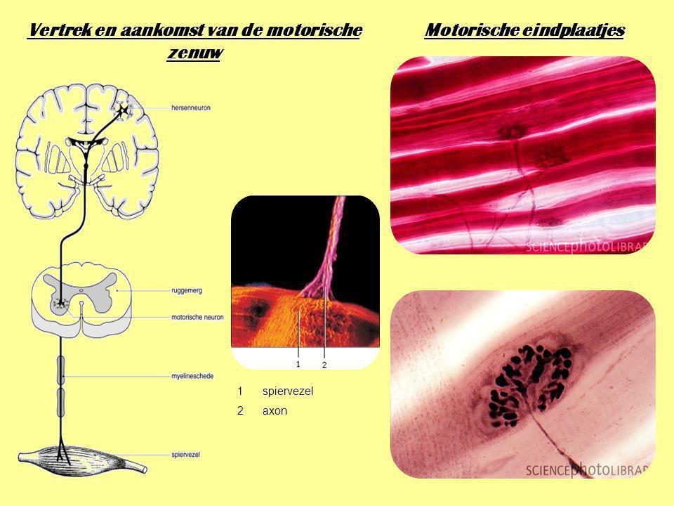 Vertrek en aankomst van de motorische zenuw