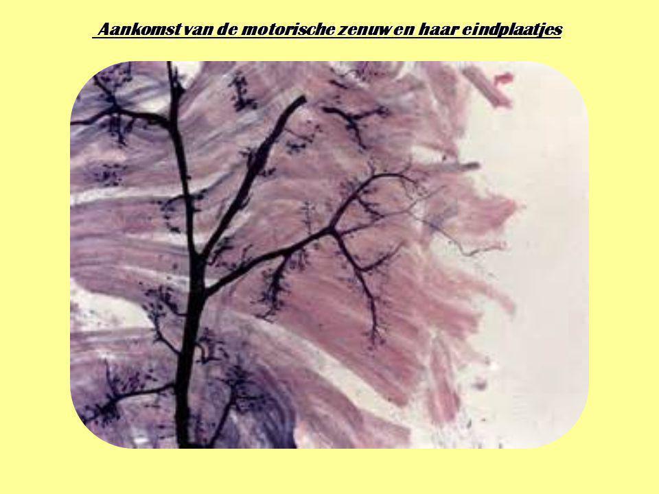 Aankomst van de motorische zenuw en haar eindplaatjes