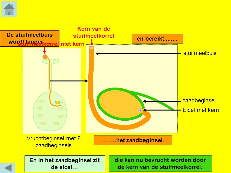 Kern van de stuifmeelkorrel