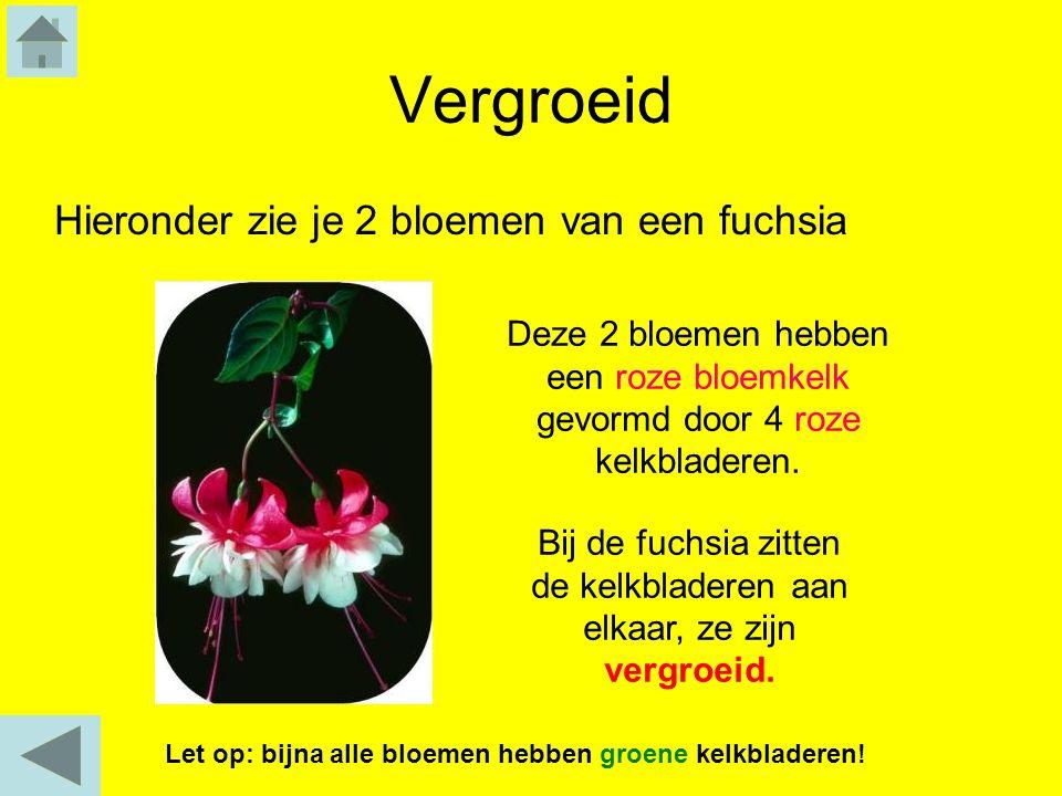 Vergroeid Hieronder zie je 2 bloemen van een fuchsia