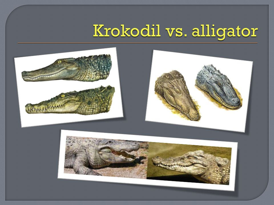 Krokodil vs. alligator