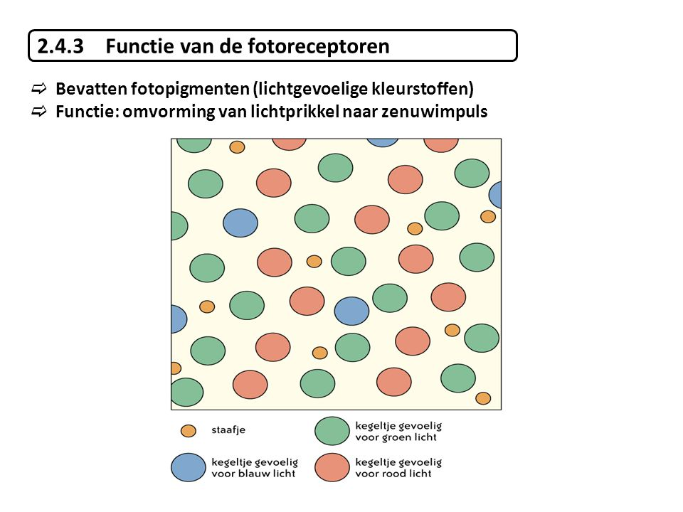 2.4.3 Functie van de fotoreceptoren
