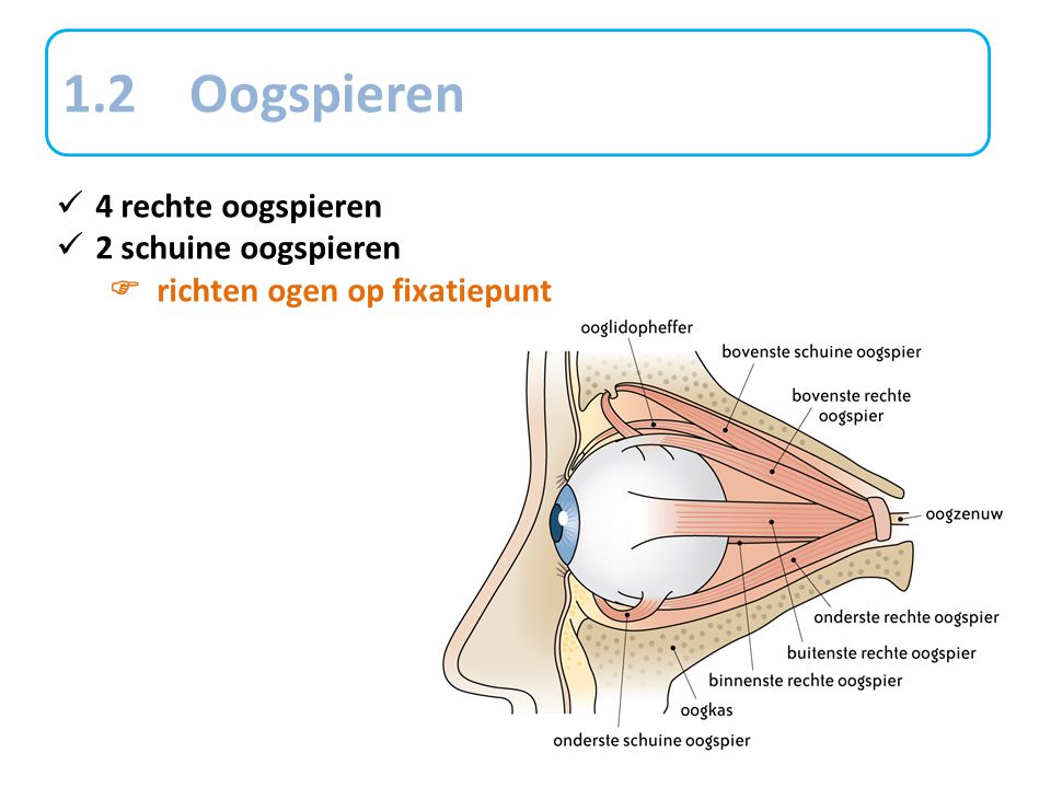 1.2 Oogspieren 4 rechte oogspieren 2 schuine oogspieren