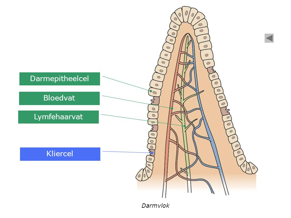 Darmepitheelcel Bloedvat Lymfehaarvat Kliercel Darmvlok