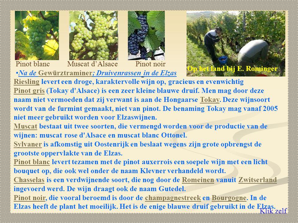 Pinot blanc Muscat d'Alsace. Pinot noir. Op het land bij E. Rominger. Na de Gewürztraminer; Druivenrassen in de Elzas.