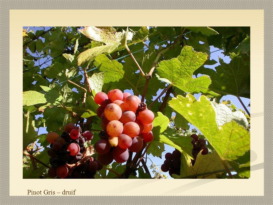 Pinot Gris – druif