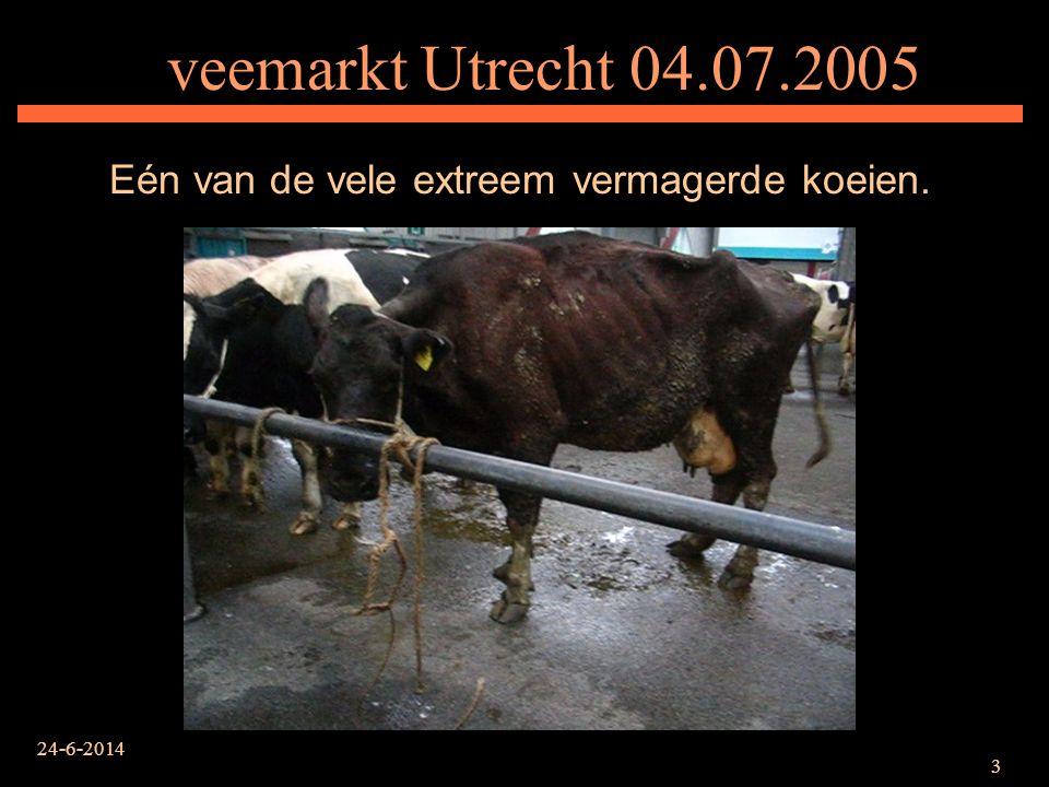 Eén van de vele extreem vermagerde koeien.