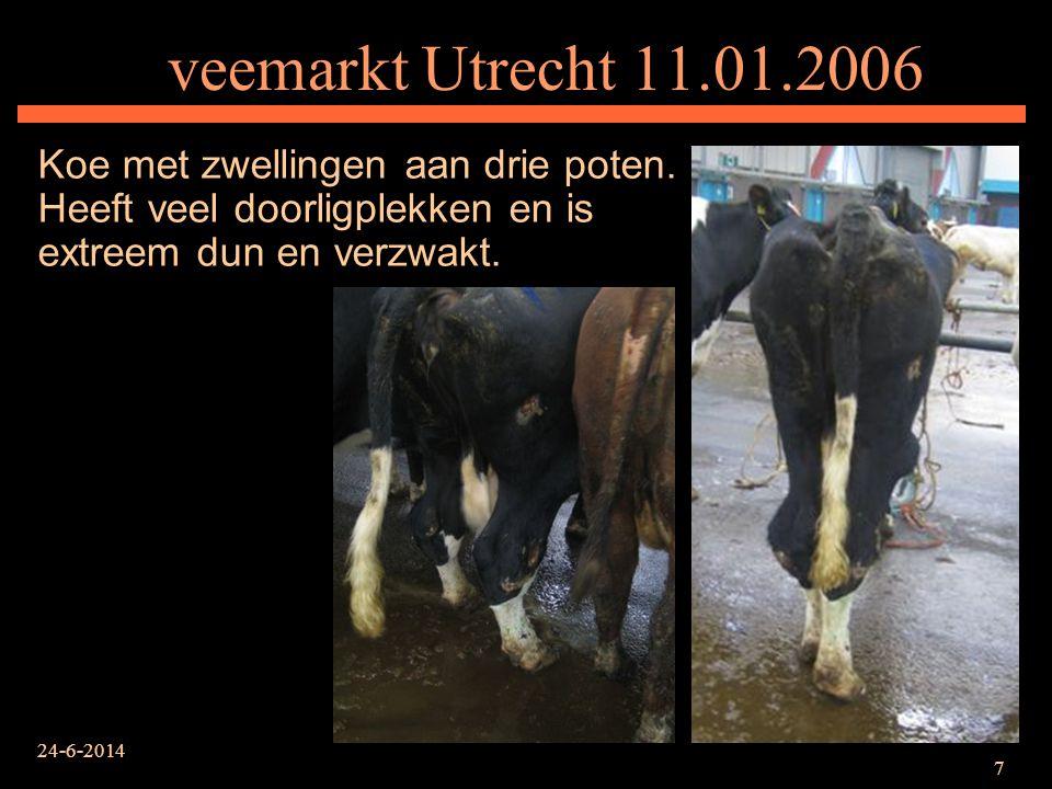 veemarkt Utrecht 11.01.2006 Koe met zwellingen aan drie poten. Heeft veel doorligplekken en is extreem dun en verzwakt.